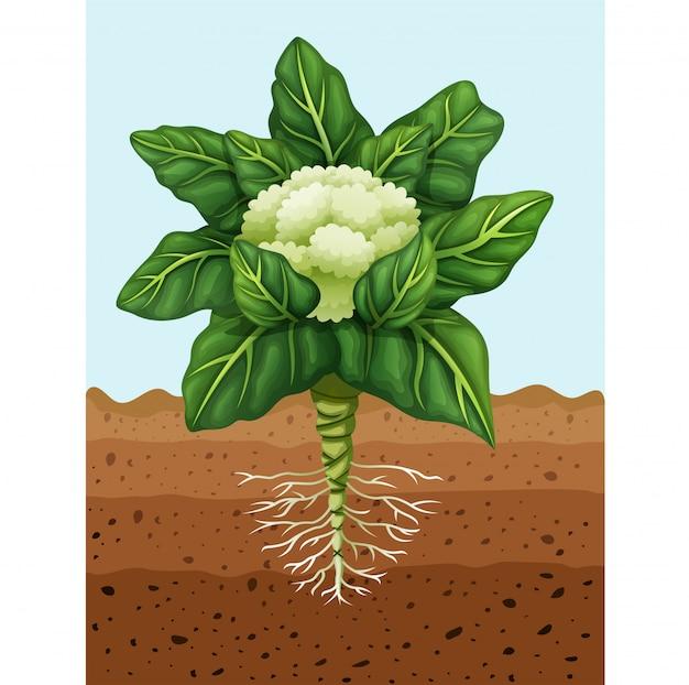 地面に植えるカリフラワーのイラスト Premiumベクター