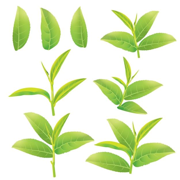 緑茶 Premiumベクター
