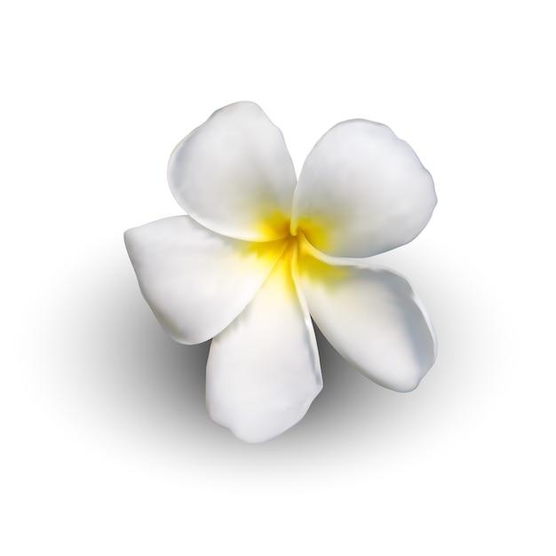Реалистичный цветок плюмерии Premium векторы