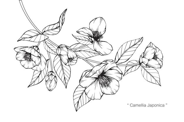 カメリアジャポニカの花の描画のイラスト Premiumベクター