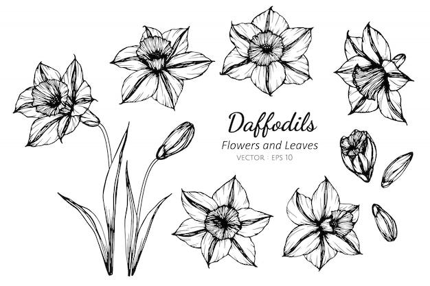 水仙の花と葉のイラストを描くのセットです。 Premiumベクター