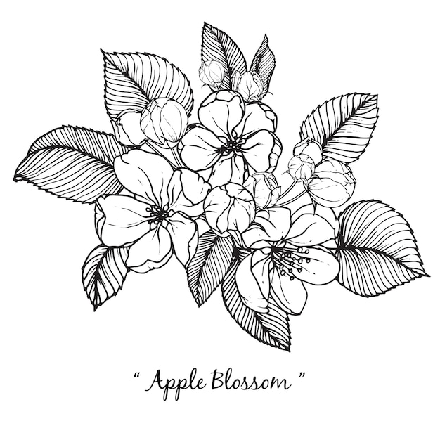 アップルの花の花の描画 Premiumベクター