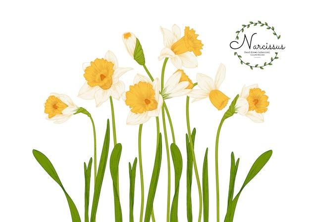 植物のイラスト、水仙または水仙の花の絵。 Premiumベクター