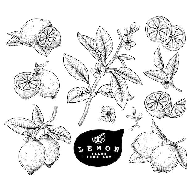 Векторный рисунок цитрусовые декоративный набор. лимон. рисованной ботанические иллюстрации. Premium векторы