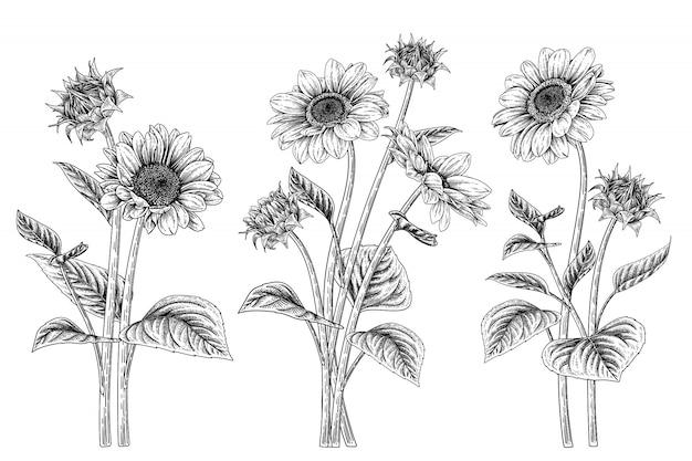 Эскиз цветочный декоративный набор. рисунки подсолнечника. Premium векторы