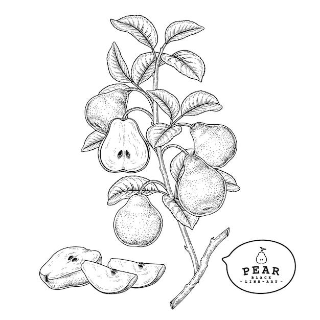 Эскиз груша декоративный набор. рисованной ботанические иллюстрации. черный и белый с линией искусством, изолированные на белом фоне. фруктовые рисунки. элементы в стиле ретро. Premium векторы