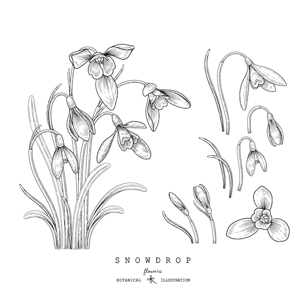 Эскиз цветочный декоративный набор. подснежник цветочные рисунки. черный и белый с линией искусства изолированы. рисованной ботанические иллюстрации. Premium векторы