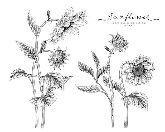 Эскиз цветочный декоративный набор. рисунки подсолнечника. черный и белый с линией искусства изолированы. рисованной ботанические иллюстрации. Premium векторы