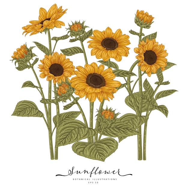 Эскиз цветочный декоративный набор. рисунки подсолнечника. высокодетализированные линии искусства изолированы. рисованной ботанические иллюстрации. Premium векторы