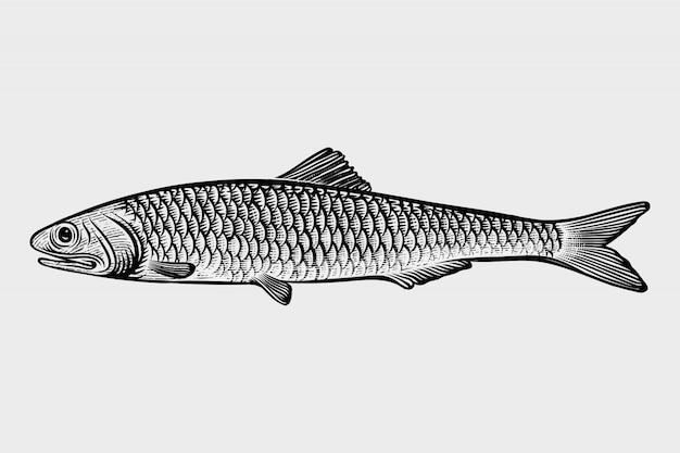 Морепродукты сардины рисованной иллюстрации стиля гравировки Premium векторы