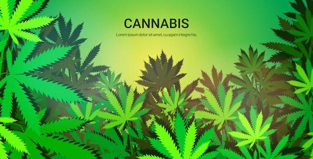Плантация выращивание марихуаны завод, концепция горизонтальный копией пространства Premium векторы