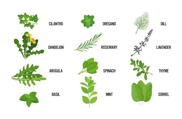 Установить реалистичные свежие травы зеленые листья коллекция здоровое питание концепция горизонтальный Premium векторы