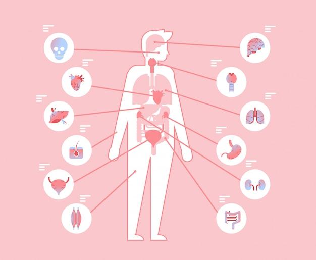 解剖学的構造内の主要な人体の内臓 Premiumベクター