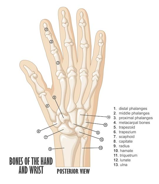 Кости рук и анатомия запястья Premium векторы