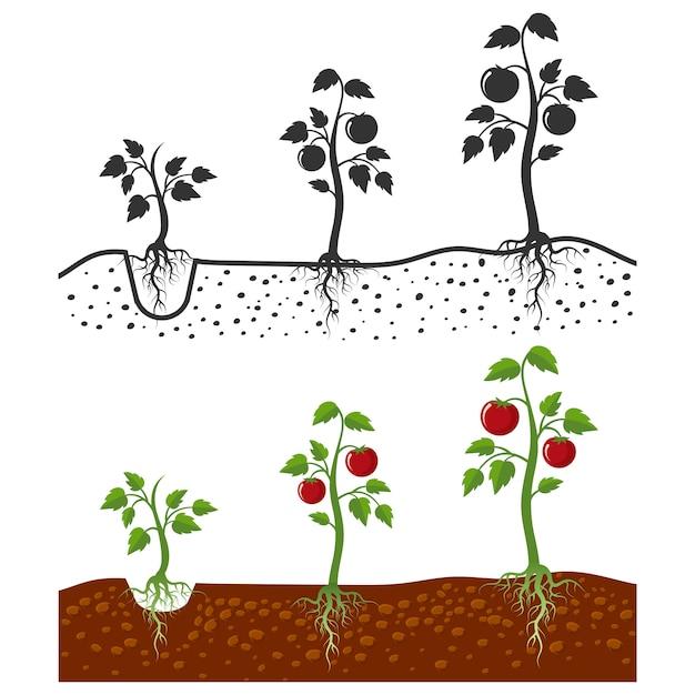пальчики этапы выращивания помидоров в картинках стоянках