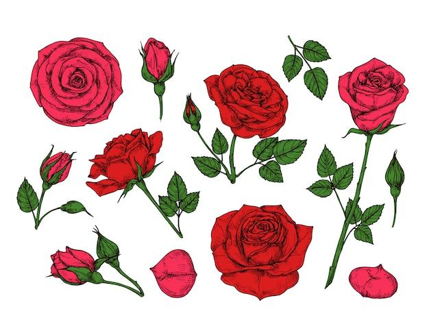Красная роза. ручной обращается розы садовые цветы с зелеными листьями, бутонами и шипами. сборник мультфильмов Premium векторы
