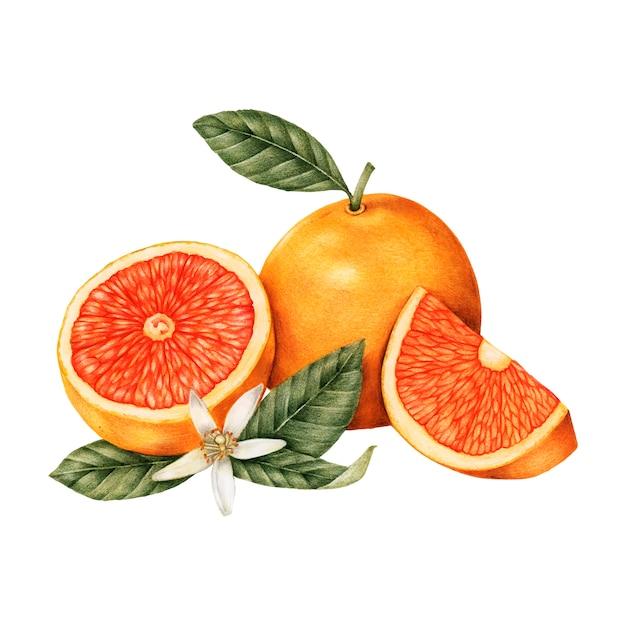 オレンジの手描きのスケッチ Premiumベクター