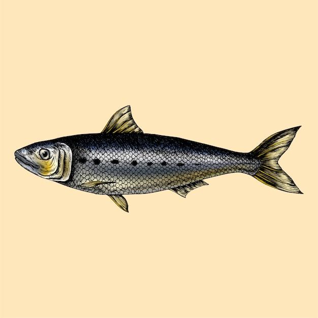 手書きイワシの魚 Premiumベクター