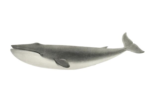 ビンテージクジラのイラスト 無料ベクター