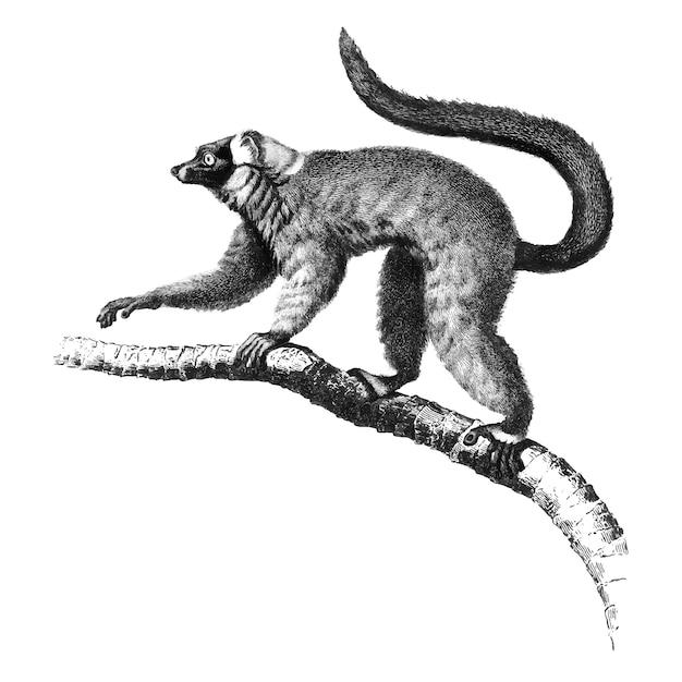 Винтажные иллюстрации красного рваного лемура Бесплатные векторы