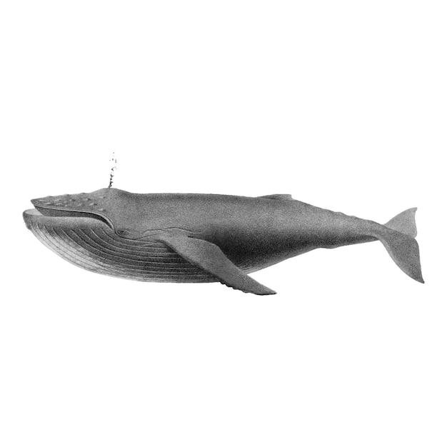 ザトウクジラのヴィンテージイラスト 無料ベクター