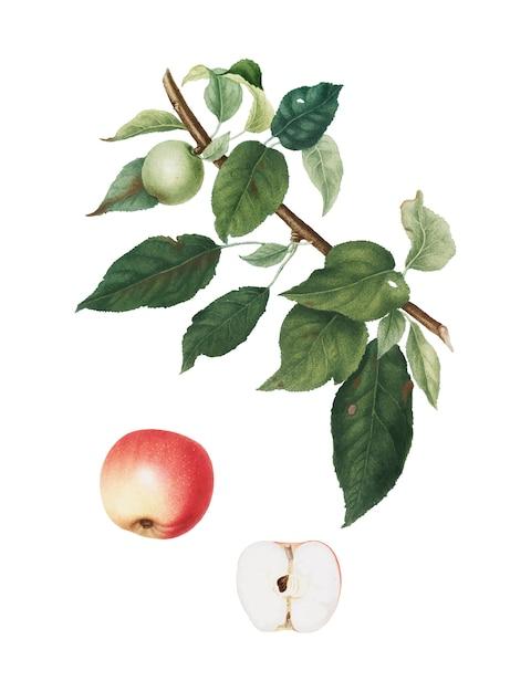 アップルポモナイタリアのイラストから 無料ベクター