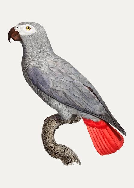 コンゴ灰色のオウム 無料ベクター