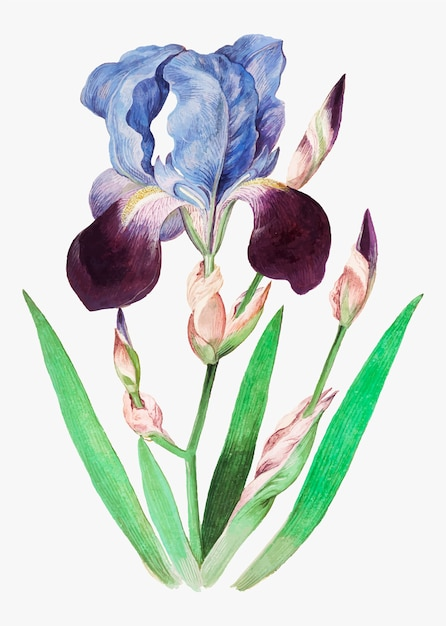 ビンテージスタイルの紫色のアイリス 無料ベクター