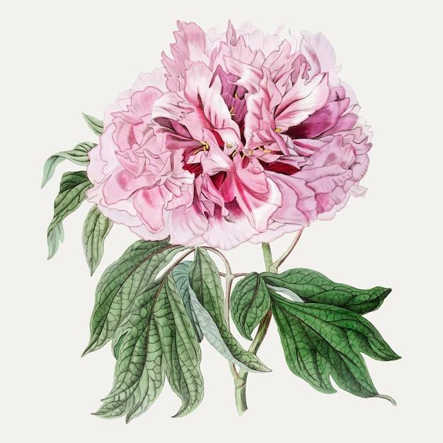 Розовый пион Бесплатные векторы