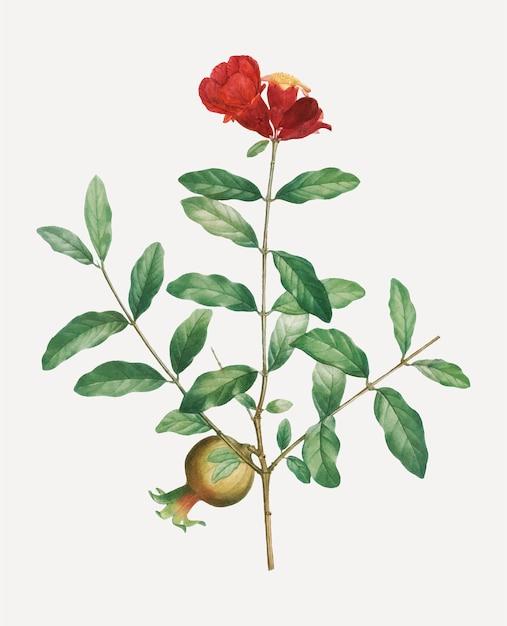 ザクロの木の枝 無料ベクター