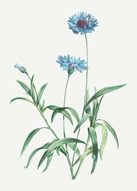 咲く青いヤグルマギク 無料ベクター