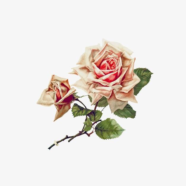 バラの花を描く 無料ベクター