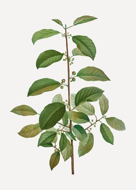 アルダークロウメモドキの木 無料ベクター