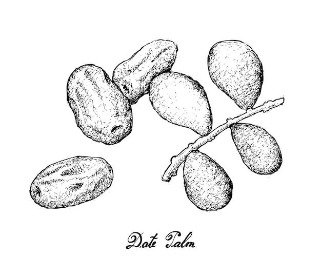 日付フルーツの手描き Premiumベクター