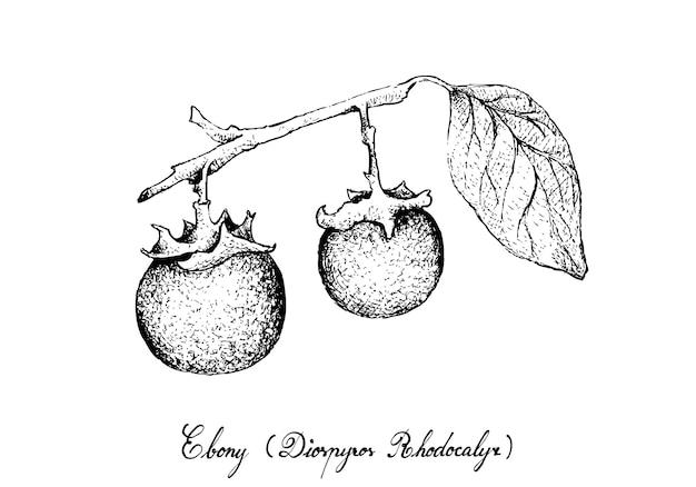 黒檀の果実の手描き Premiumベクター