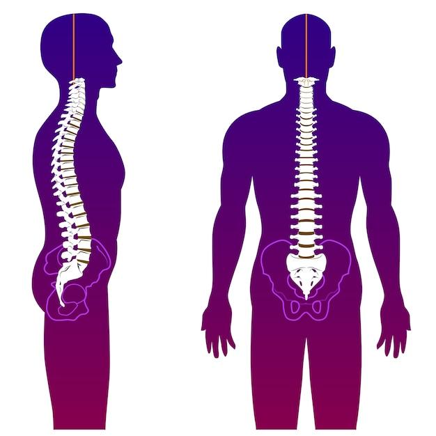 脊椎 Premiumベクター