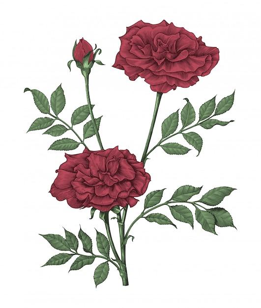 Розы ручной рисунок старинные гравюры иллюстрации на белом фоне Premium векторы