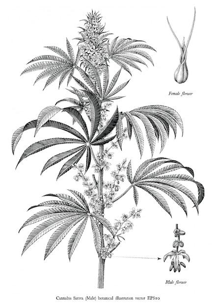 Каннабис сатива мужской дерево ботанический старинные гравюра иллюстрация черно-белые картинки изолированные Premium векторы