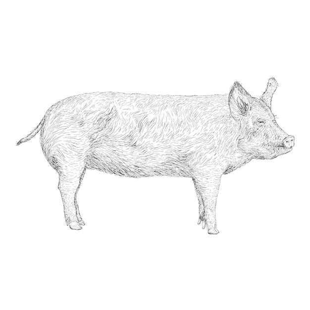豚のイラストの手描きデザイン Premiumベクター
