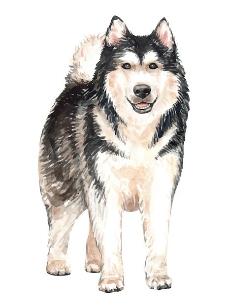 手描きのアラスカのマラミュート水彩犬。 Premiumベクター
