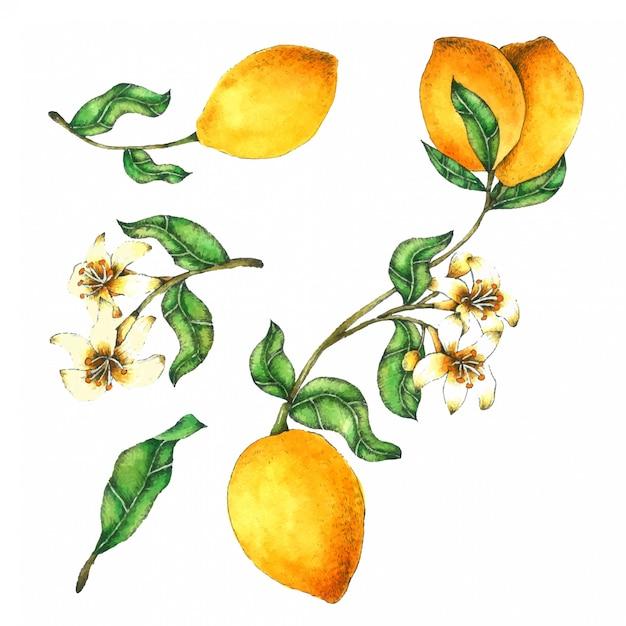 レモンの手描きの水彩画コレクション Premiumベクター