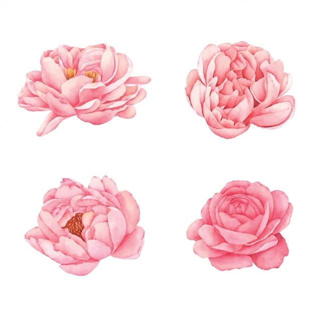Пион цветок ручной росписью акварелью Premium векторы