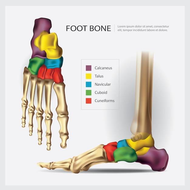 人間の解剖学的足の骨のイラスト ベクター画像 プレミアムダウンロード