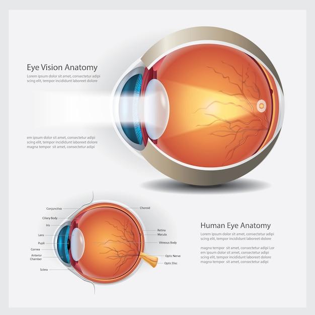 人間の目の解剖学と通常のレンズのベクトル図 Premiumベクター