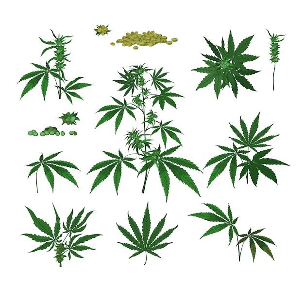 大麻植物、種子、枝 無料ベクター