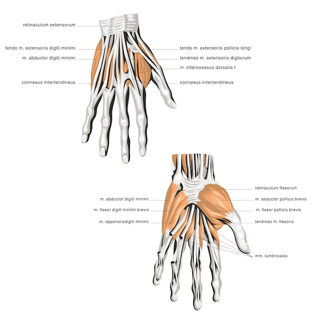Анатомия пальмовой кости Premium векторы