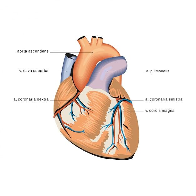 心臓の解剖学 Premiumベクター