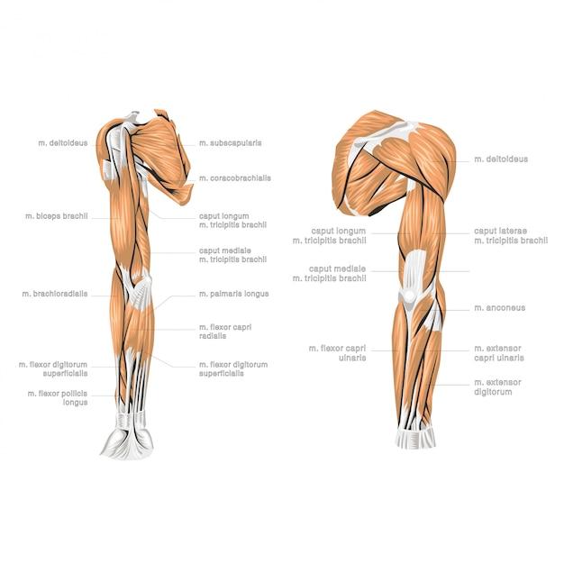 Анатомия человеческой руки Premium векторы