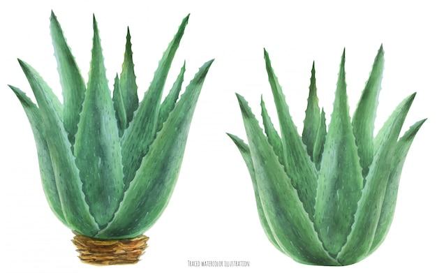 Акварельная ботаническая иллюстрация алоэ вера буш Premium векторы