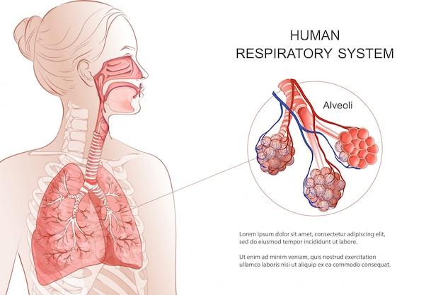 Дыхательная система человека, легкие, альвеолы. медицинская схема. внутри гортани анатомия носового дросселя. дыхание, пневмония, дым. иллюстрация анатомии. здравоохранение и медицина инфографики. Premium векторы
